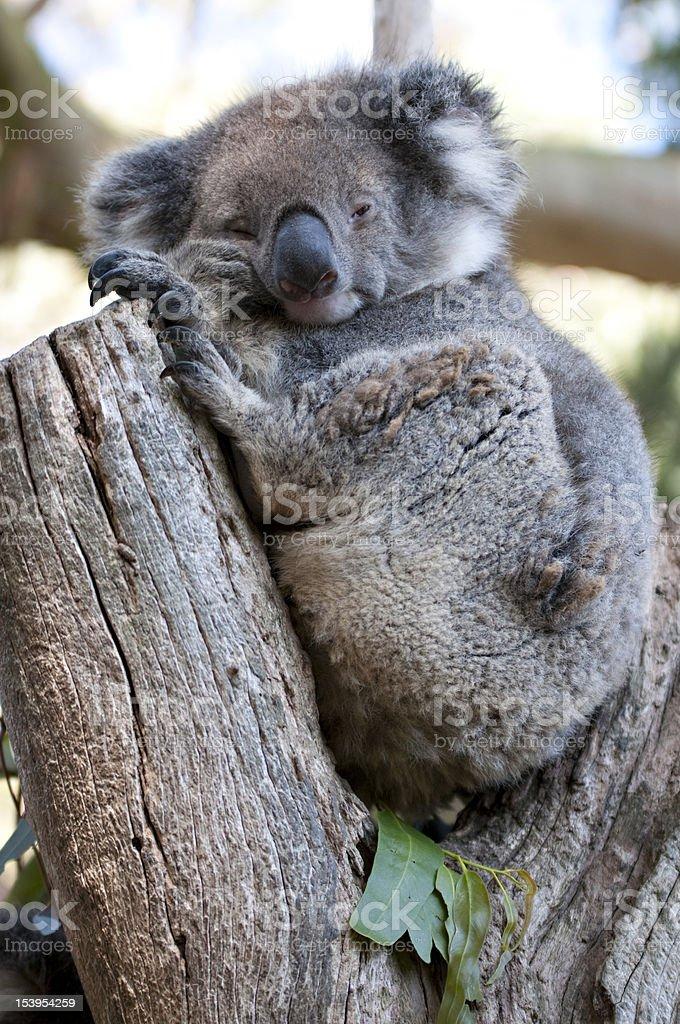 Bored koala in a funny pose sits on eucaliptus royalty-free stock photo