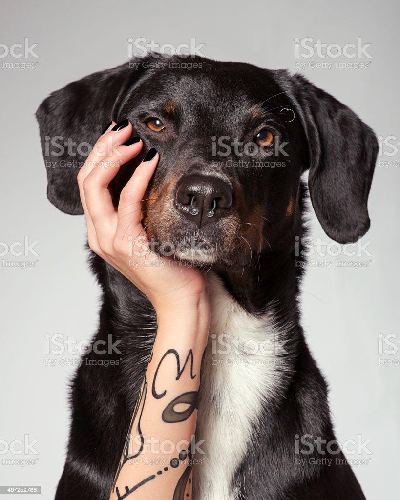 bored labrador stock photo