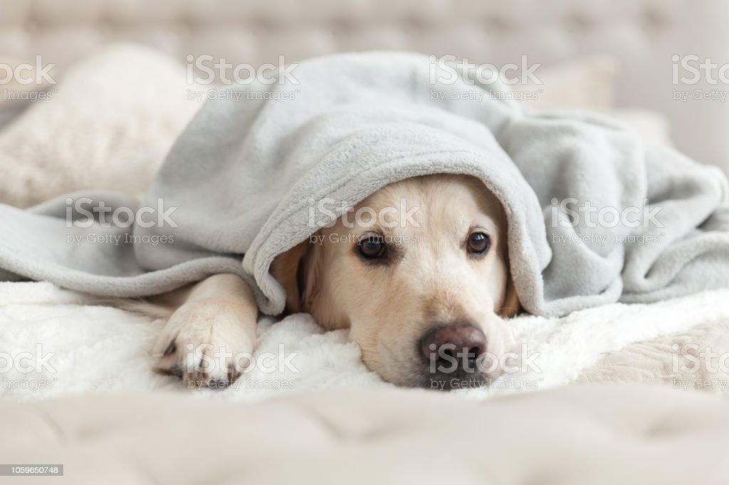 Bored Young Golden Retriever Dog Under Light Gray Plaid Pet Warms