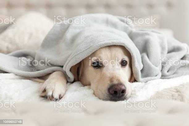 Bored young golden retriever dog under light gray plaid pet warms a picture id1059650748?b=1&k=6&m=1059650748&s=612x612&h=43tcn27yzcdny2rpm0yd5avbtfvf2caao6lv yiugpe=