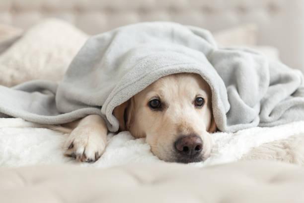 Bored young golden retriever dog under light gray plaid pet warms a picture id1059650748?b=1&k=6&m=1059650748&s=612x612&w=0&h=g19ztjbpz8ou1qzzkebidfk9b9laabzbua 3uho6wfy=