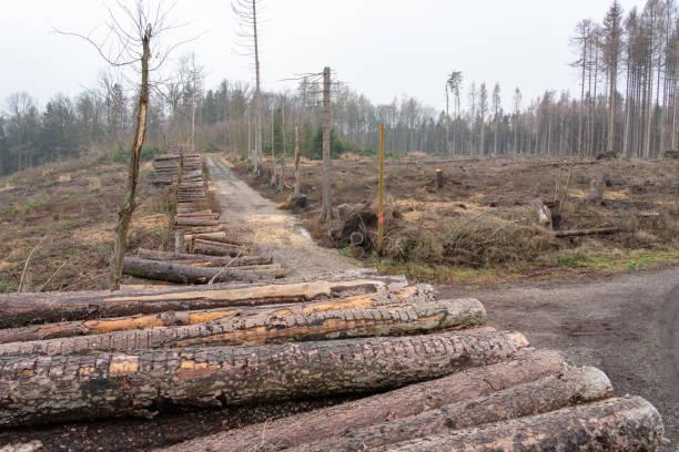 Borkenkäferplage - Gerodete Fichtenbäume auf einer riesigen Waldlichtung bei Burgstädt / Deutschland stock photo