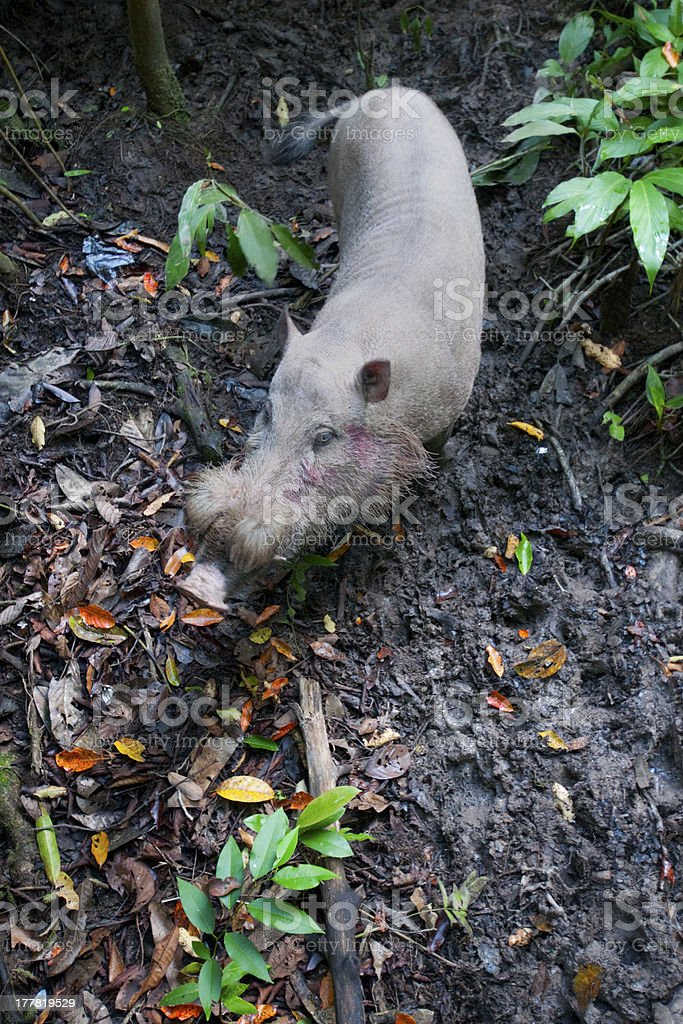 Bornean Bearded Pig royalty-free stock photo