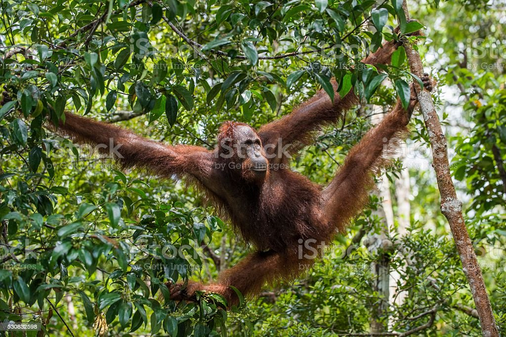 Bornean orangutan on the tree branches in the wild nature. stock photo