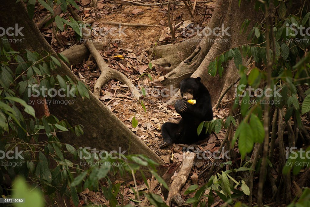Bornean Sun Bear stock photo