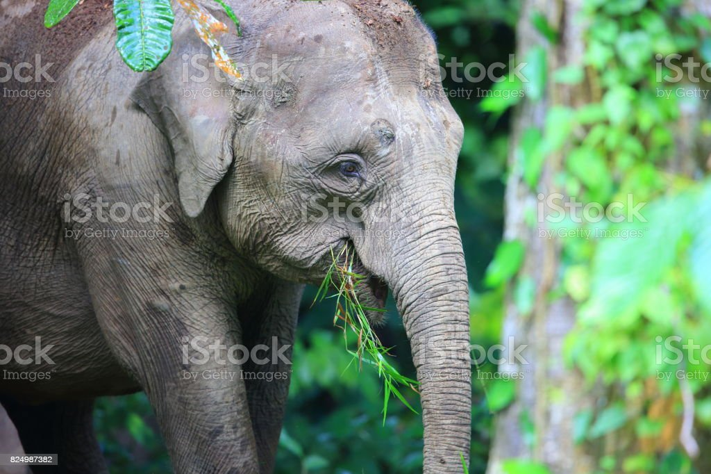 Borneo elephant (Elephas maximus borneensis) in Sabah, Borneo stock photo