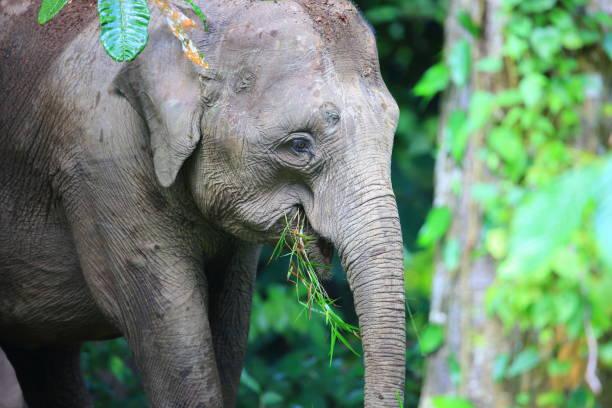 Borneo elephant (Elephas maximus borneensis) in Sabah, Borneo stock photo