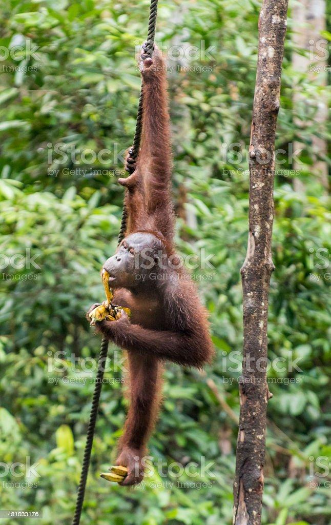 Borneo Orangutan eating bananas stock photo