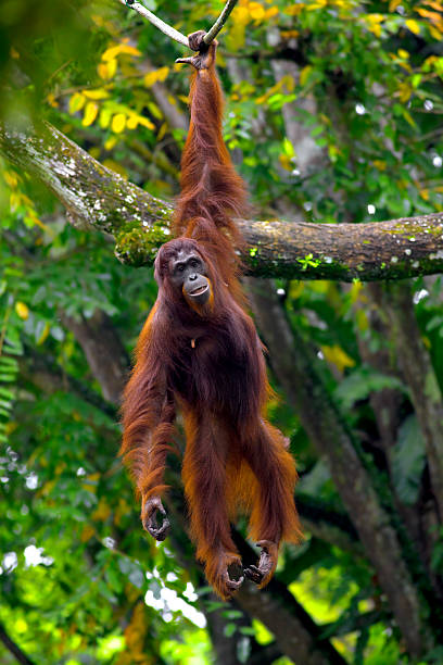 Borneo orangutan hanging from tree with one arm Orangutan in the jungle in Borneo, Malaysia orangutan stock pictures, royalty-free photos & images