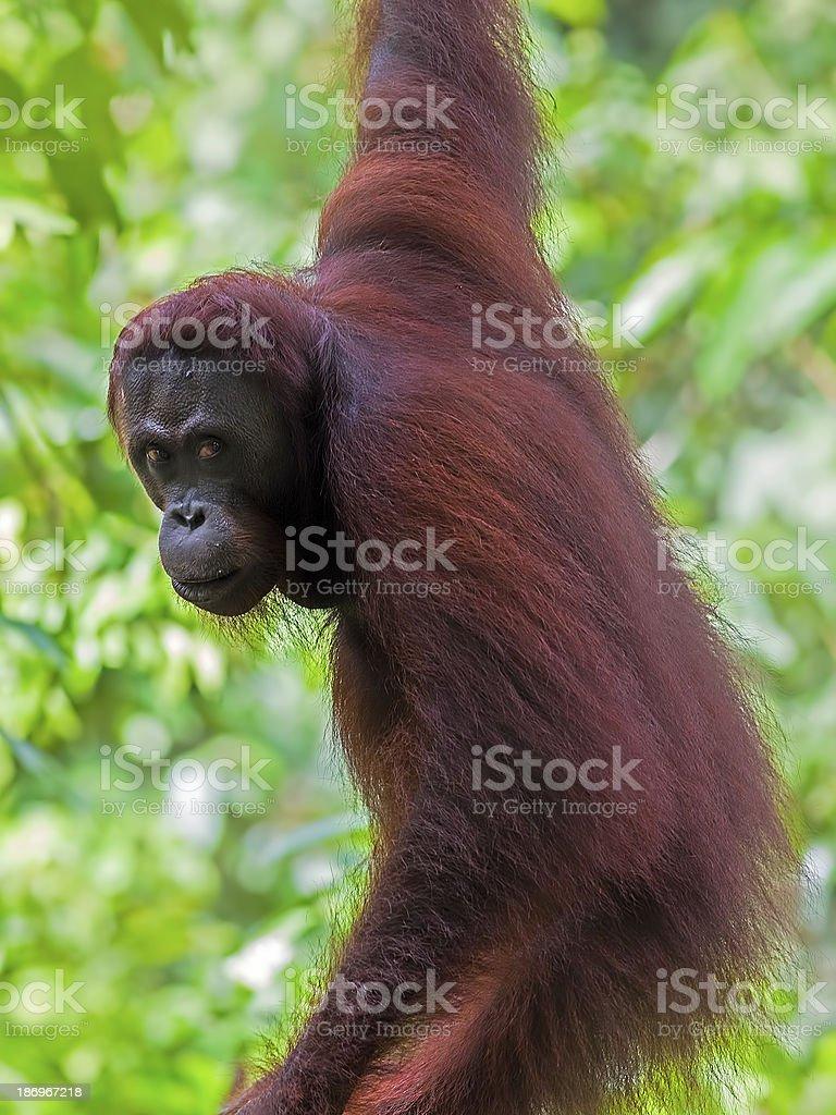 Borneo Orangutan stock photo