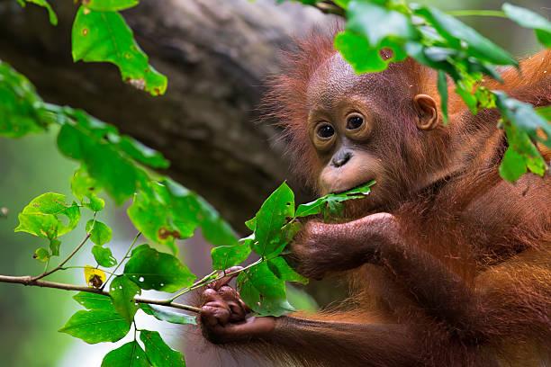 Borneo orangutan picture id517743881?b=1&k=6&m=517743881&s=612x612&w=0&h=coto4gvnd ssvjssgcnqvoquak2e8mi7qmiuo1a0j2y=
