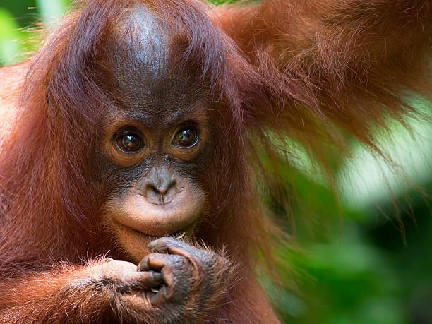Borneo orangutan picture id518173943?b=1&k=6&m=518173943&s=612x612&w=0&h=eap5t8kruduk7 gdjqtzmiwjaylk4drnzdoru7xyt e=