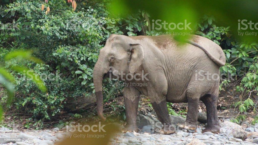 Borneo Pygmy Elephant seen in Danum Valley, Borneo - Foto stock royalty-free di Acqua