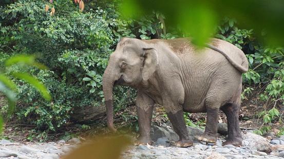 Borneo Pygmy Elephant Seen In Danum Valley Borneo - Fotografie stock e altre immagini di Acqua