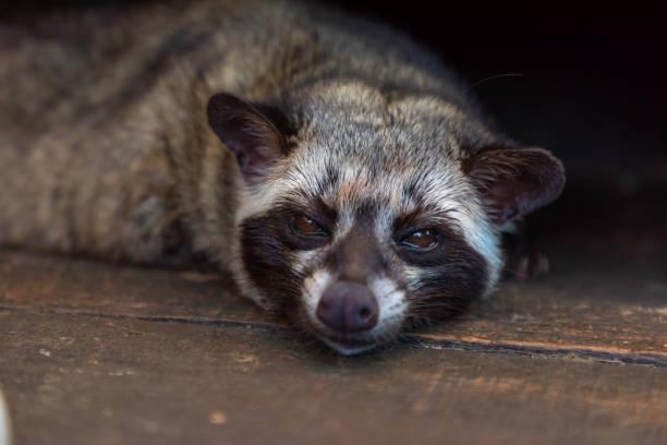 borobudur, java, indonesia - gato civeta fotografías e imágenes de stock