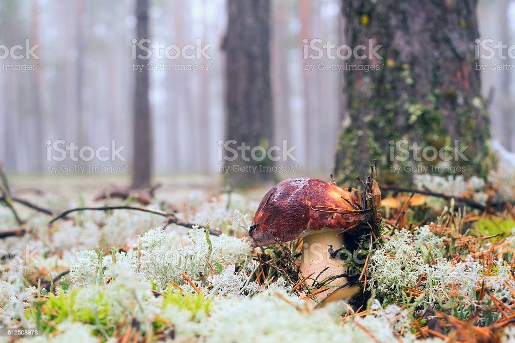 Borovik in the dew closeup stock photo