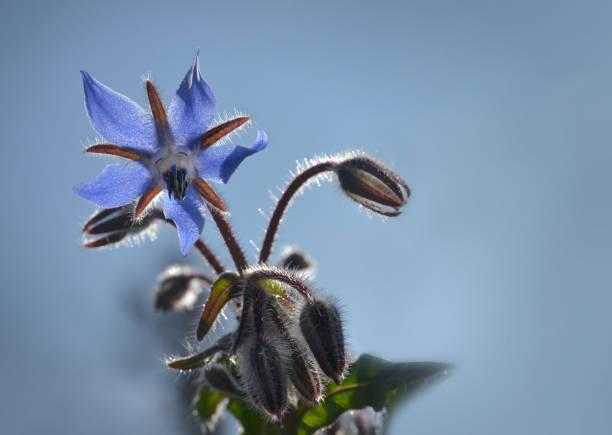 Borretsch Blüte in Nahaufnahme – Foto