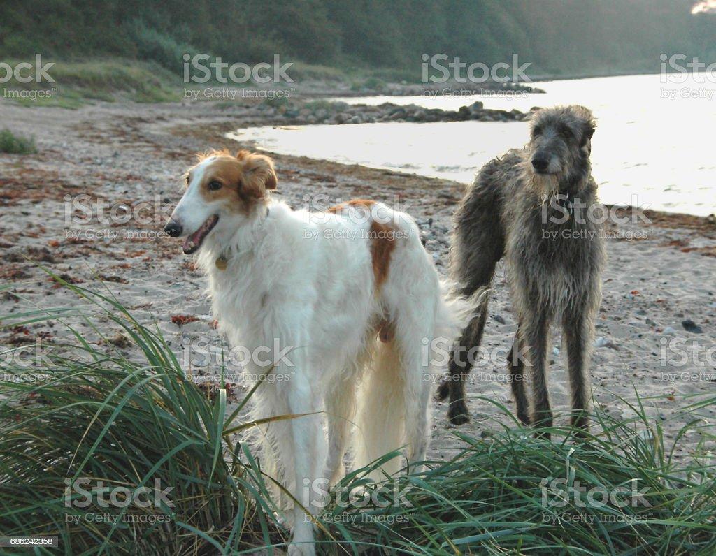 Borzoi and Deerhound stock photo
