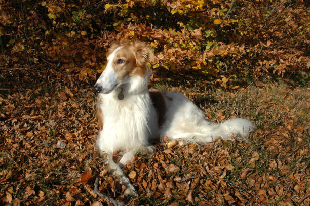 Borzoi dog in autumn forest Borzoi dog rests at the floor or a forest in autumn colors. sight hound stock pictures, royalty-free photos & images