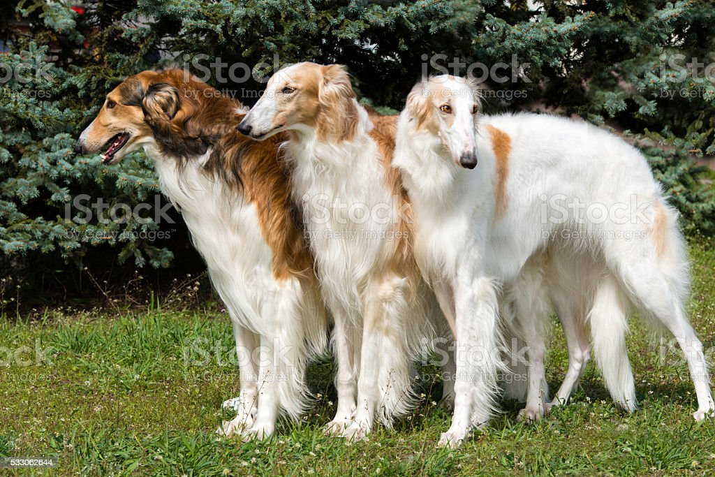 Borzoi Russian triad. stock photo
