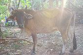 Brahman Bull in a farm field in Costa Rica.