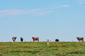 Assorted colored Bos indicus (eared) beef cattle standing in a green pasture with blue sky clear for copy
