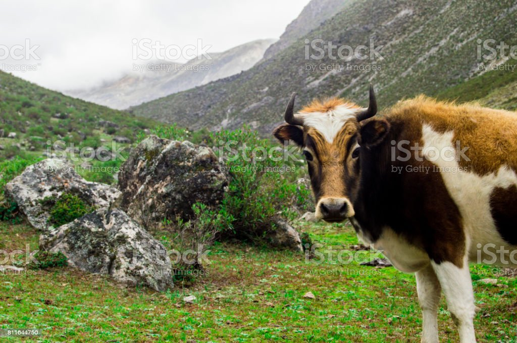 Bos taurus ( cow , cattle ) alone in the range of the mountains los andes, right side stock photo