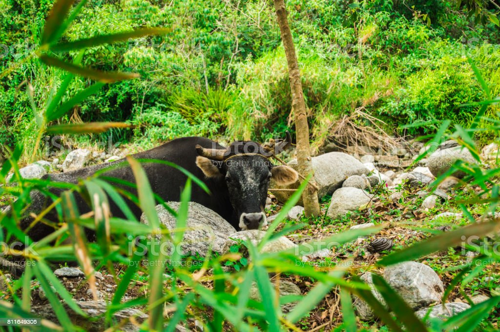 Bos taurus ( cow , cattle ) alone into the nature background stock photo
