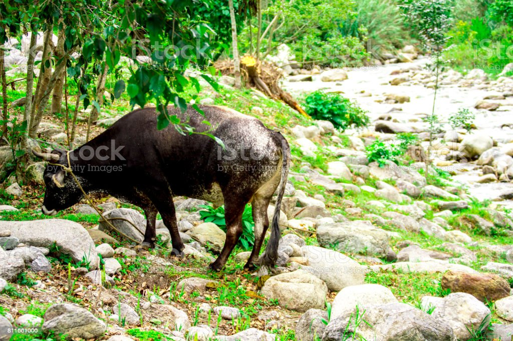 Bos taurus ( cow , cattle ) alone into the nature, eating stock photo