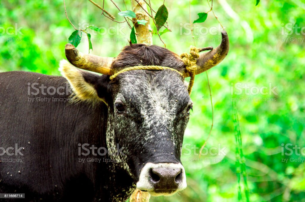 Bos taurus ( cow , cattle ) alone into the nature, looking front high colors stock photo