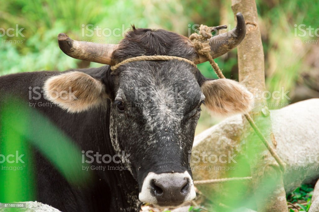 Bos taurus ( cow , cattle ) alone into the nature. looking front ,low colors stock photo