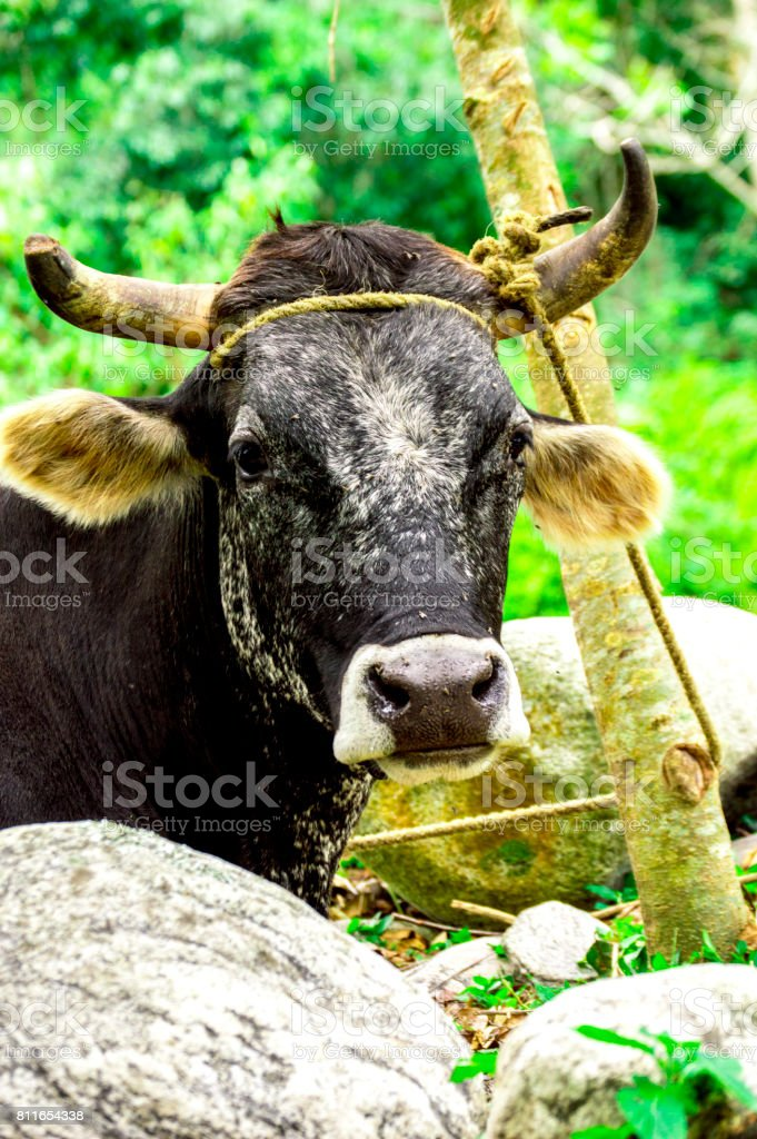 Bos taurus ( cow , cattle ) alone into the nature , looking front stock photo