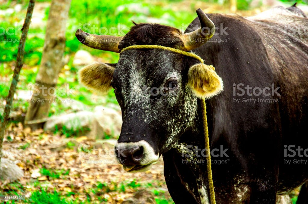 Bos taurus ( cow , cattle ) alone into the nature, looking left side stock photo