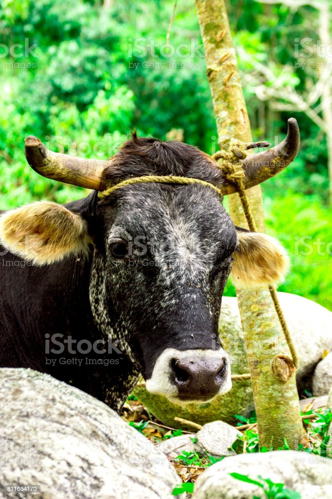 Bos taurus ( cow , cattle ) alone into the nature, near rocks stock photo