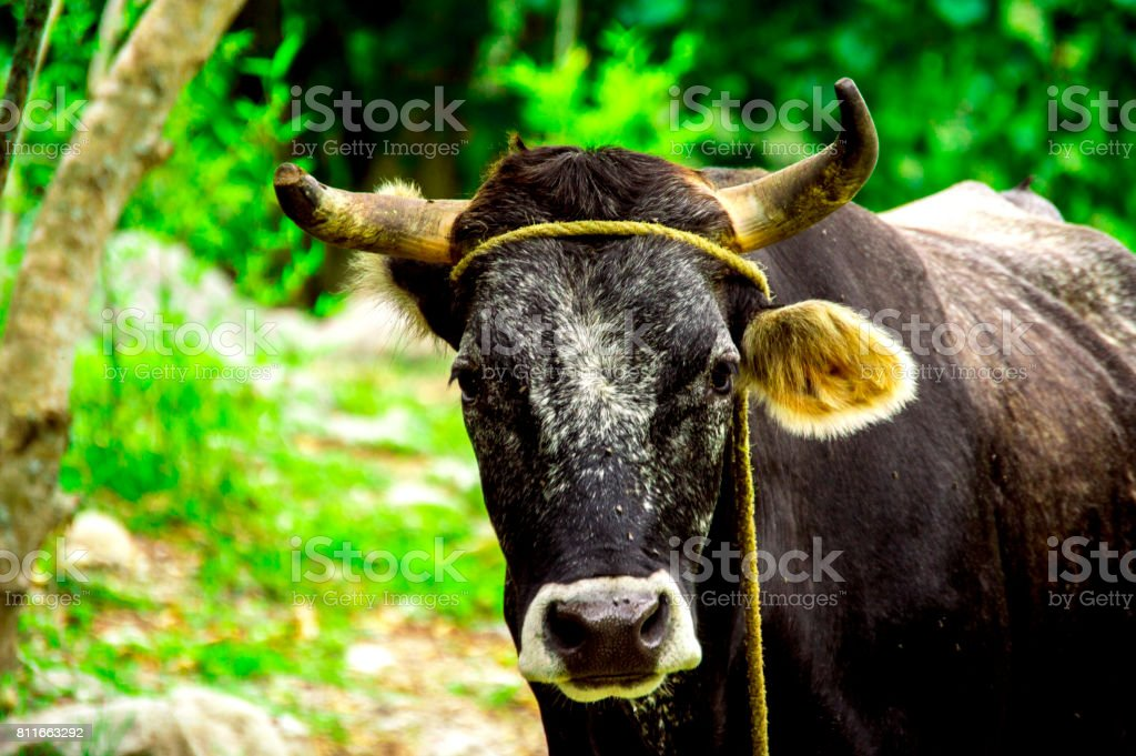 Bos taurus ( cow , cattle ) alone into the nature, stand stock photo