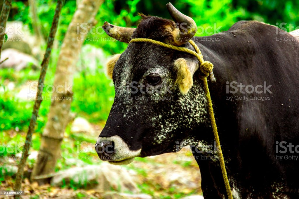 Bos taurus ( cow , cattle ) alone into the nature,dirty looking left side stock photo