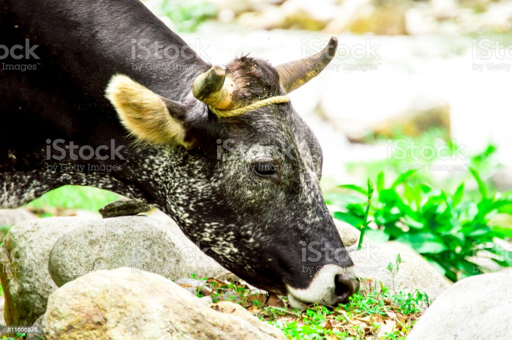 Bos taurus ( cow , cattle ) alone into the nature,eating closeup stock photo