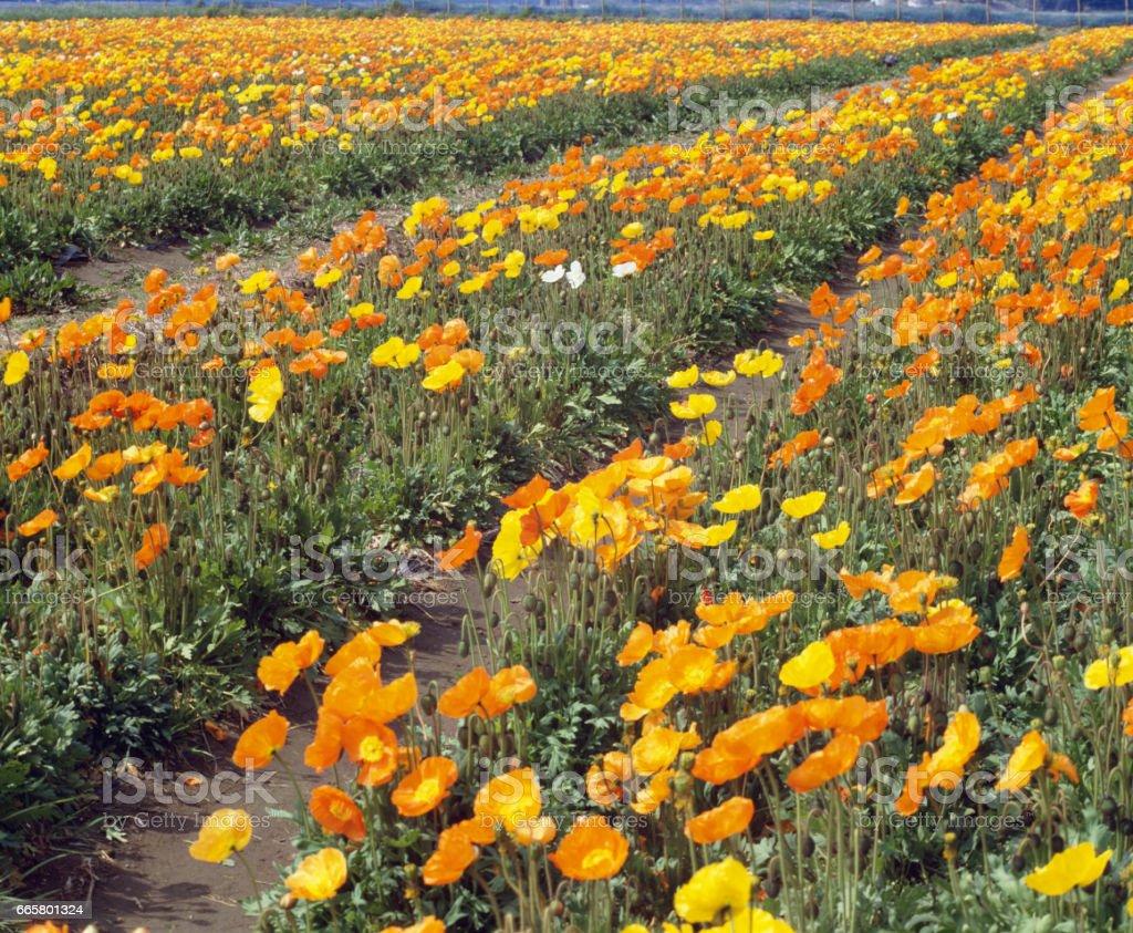Boso's flower garden stock photo