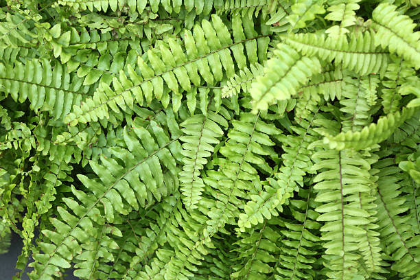 Boston Fern - Nephrolepis Exaltata stock photo