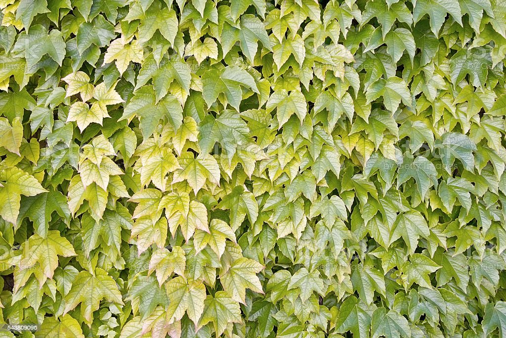 boston ivy, japanese creeper stock photo