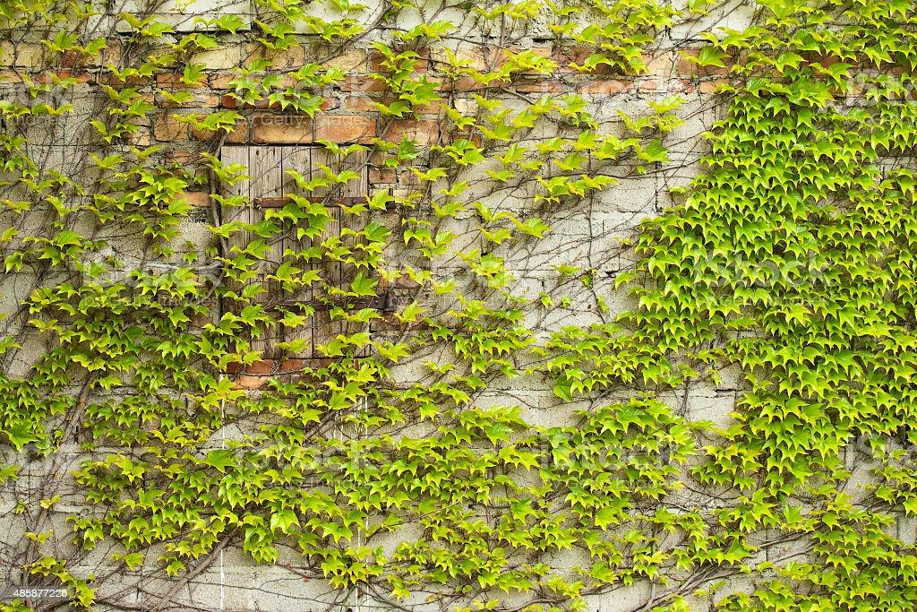 Boston ivy (creeper) on a wall stock photo