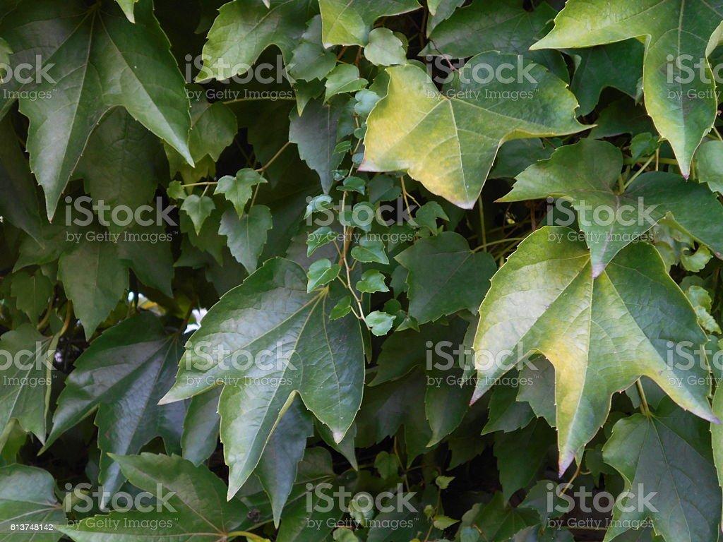Boston Ivy (Parthenocissus tricuspidata) stock photo