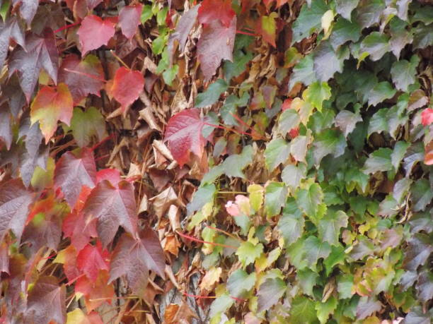 Best Autumn Fence Forest Ivy Stock Photos Pictures