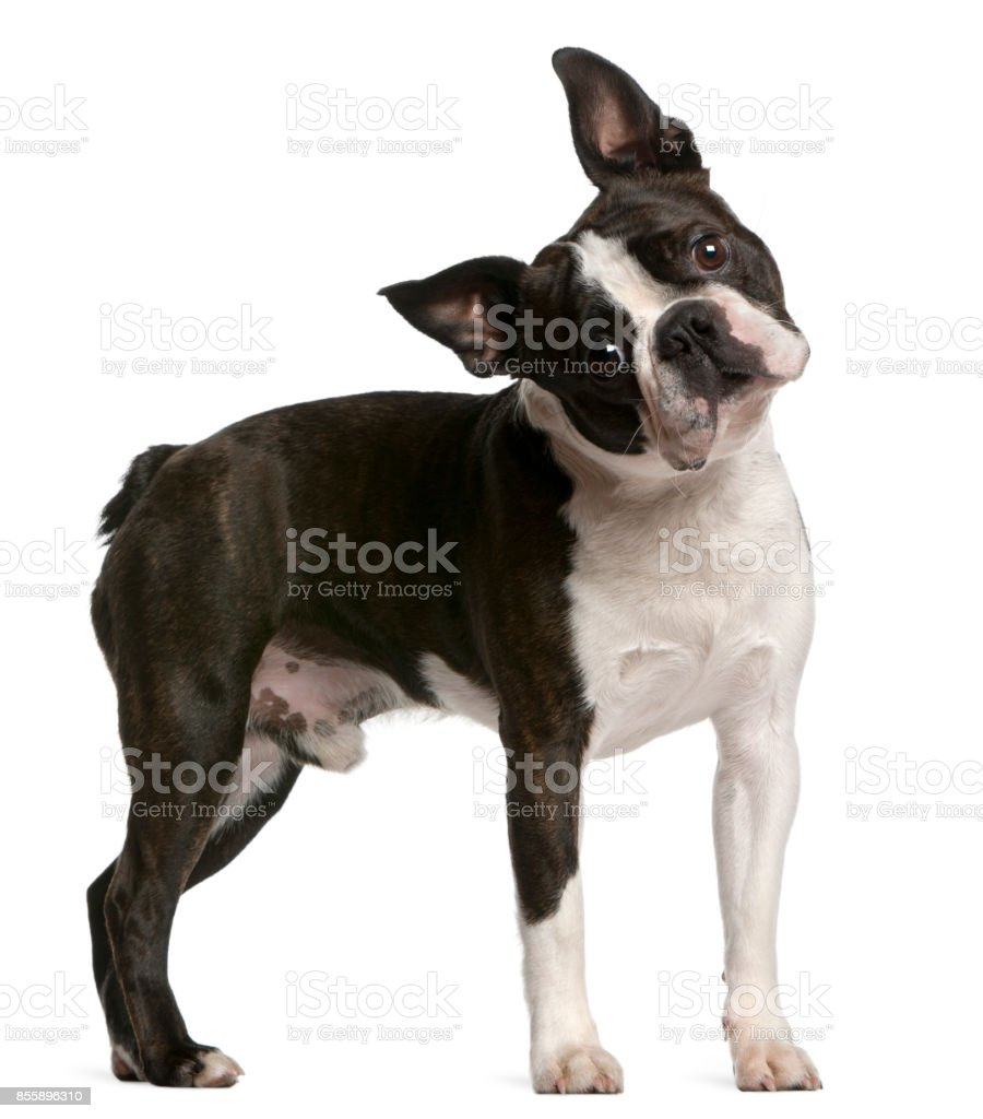 Boston Terrier, 1 año de edad, de pie delante de fondo blanco - foto de stock