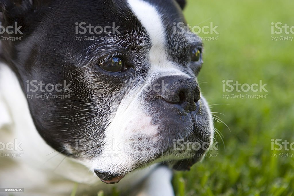 Boston Terrier Close Up royalty-free stock photo