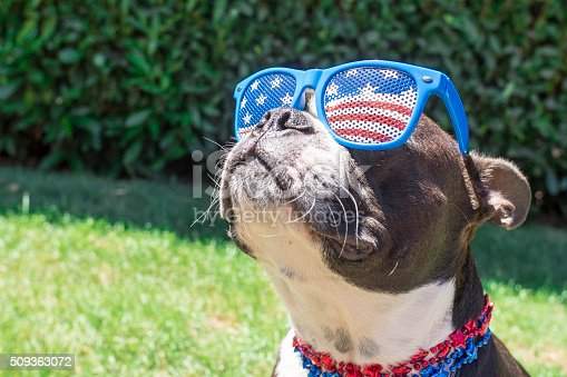 istock Boston Terrier Dog Looking Cute in Stars and Stripes Sunglasses 509363072