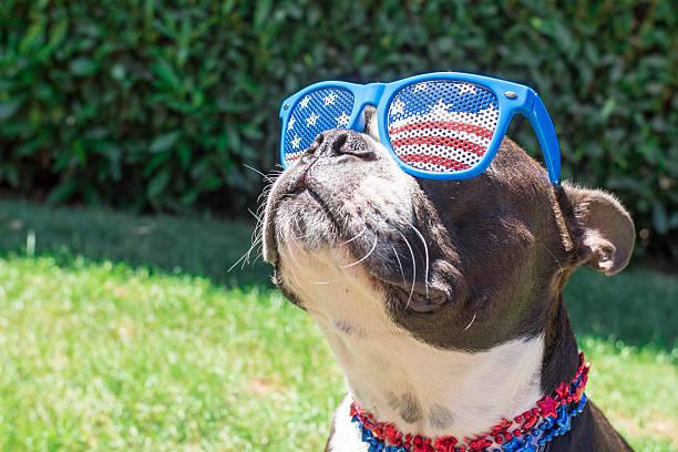 Boston terrier dog looking cute in stars and stripes sunglasses picture id509363072?b=1&k=6&m=509363072&s=612x612&w=0&h=ny6uv8dydzhefsrgpleiww2o4whilojbjhyhejjp9ra=