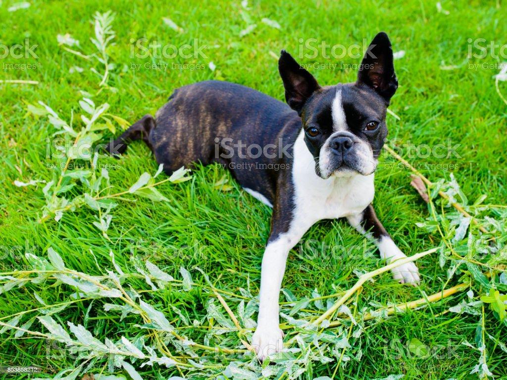 Boston terrier perro acostado en un césped verde en verano - foto de stock