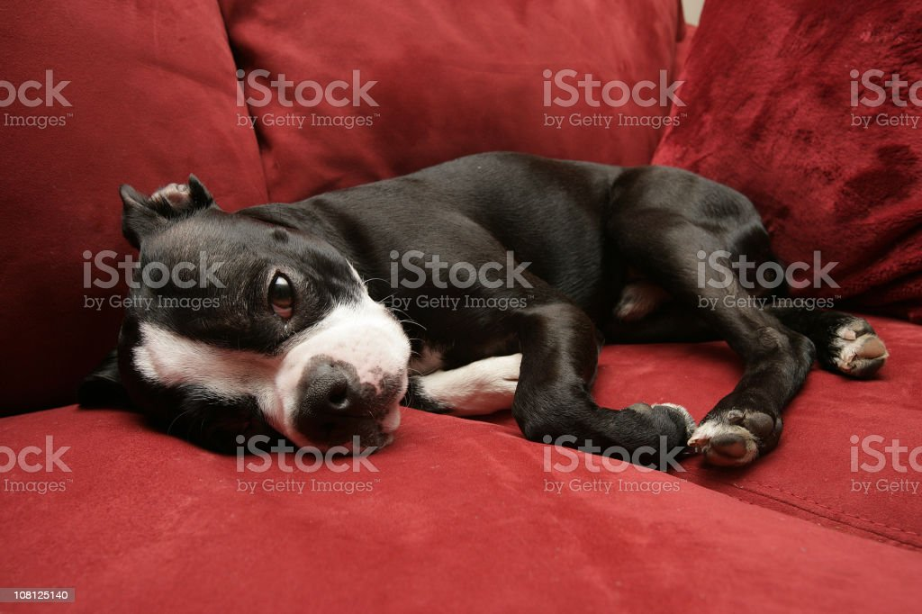 Boston Terrier Dog Lying on Couch stock photo