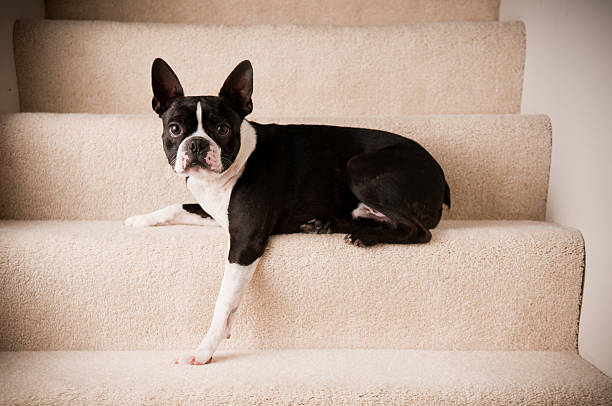 Boston Terrier Dog Lying on Steps stock photo